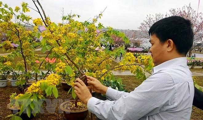 Cherry blossom - yellow ochna flower festival to open in Quang Ninh, travel news, Vietnam guide, Vietnam airlines, Vietnam tour, tour Vietnam, Hanoi, ho chi minh city, Saigon, travelling to Vietnam, Vietnam travelling, Vietnam travel, vn news