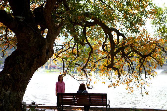 Loc Vung trees shed their leaves on Hoan Kiem Lake