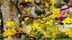 Yen Tu yellow ochna flower - precious tree of a sacred land