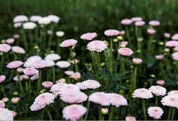Japanese agriculturist loves Da Lat flowers
