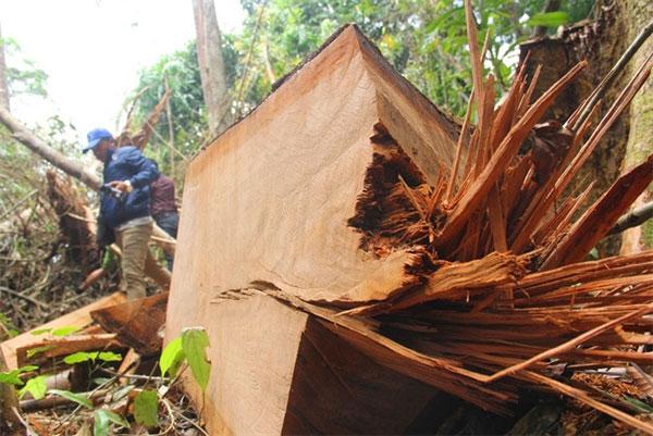 Quang Nam, Illegal logging violations, ietnam economy, Vietnamnet bridge, English news about Vietnam, Vietnam news, news about Vietnam, English news, Vietnamnet news, latest news on Vietnam, Vietnam