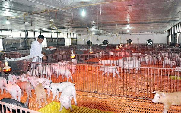 New methods of breeding pigs, providing safe meat, Vietnam economy, Vietnamnet bridge, English news about Vietnam, Vietnam news, news about Vietnam, English news, Vietnamnet news, latest news on Vietnam, Vietnam