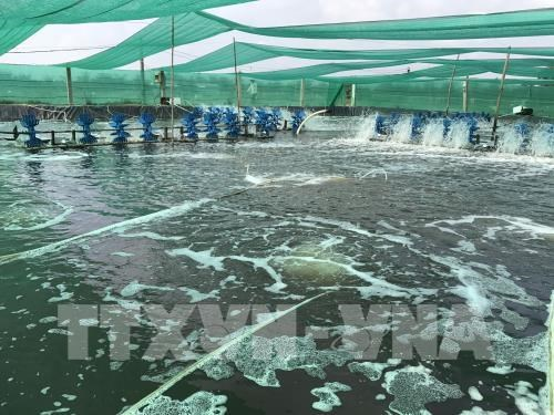 High-tech shrimp breeding brings higher profits to farmers, vietnam economy, business news, vn news, vietnamnet bridge, english news, Vietnam news, news Vietnam, vietnamnet news, vn news, Vietnam net news, Vietnam latest news, Vietnam breaking news