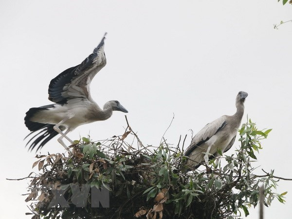 Asian openbill storks flock to Gao Giong cajuput forest in Dong Thap, Vietnam environment, climate change in Vietnam, Vietnam weather, Vietnam climate, pollution in Vietnam, environmental news, sci-tech news, vietnamnet bridge, english news, Vietnam news,