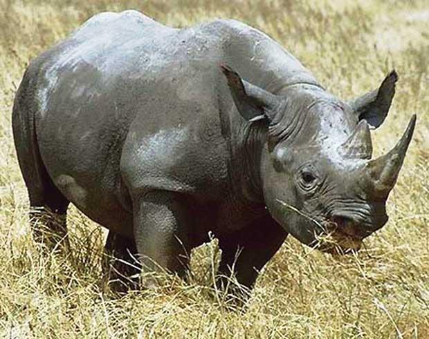 Theo các nhà khoa học: Nên loại bỏ sừng tê giác ra khỏi danh sách thuốc