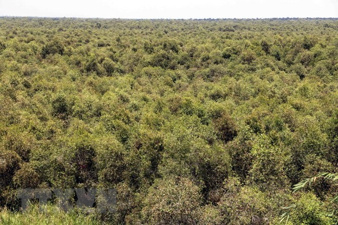 Ca Mau: Cajeput forest faces high risk of fires, Vietnam environment, climate change in Vietnam, Vietnam weather, Vietnam climate, pollution in Vietnam, environmental news, sci-tech news, vietnamnet bridge, english news, Vietnam news, news Vietnam, vietna