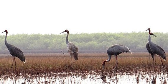 Over 40 red-crowned cranes return Kien Giang province, Vietnam environment, climate change in Vietnam, Vietnam weather, Vietnam climate, pollution in Vietnam, environmental news, sci-tech news, vietnamnet bridge, english news, Vietnam news, news Vietnam,