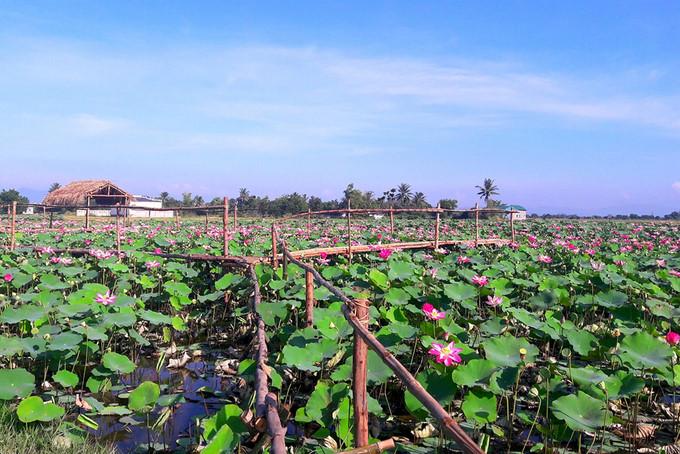 Stunning lotus blossom display in NinhThuan, travel news, Vietnam guide, Vietnam airlines, Vietnam tour, tour Vietnam, Hanoi, ho chi minh city, Saigon, travelling to Vietnam, Vietnam travelling, Vietnam travel, vn news