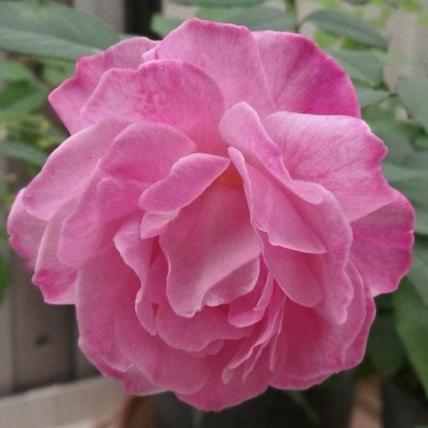 Smell the roses, fragrant flowers, sweeter