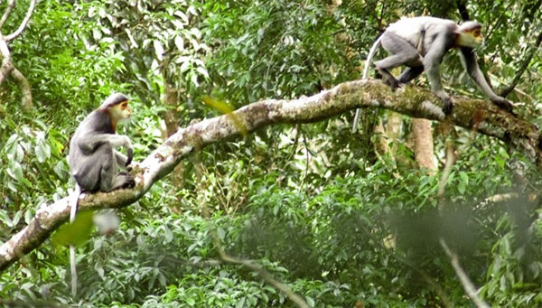 Quang Nam, protection of endangered langurs, Vietnam economy, Vietnamnet bridge, English news about Vietnam, Vietnam news, news about Vietnam, English news, Vietnamnet news, latest news on Vietnam, Vietnam