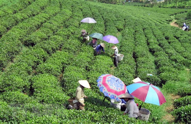 Low quality, lack of brand names remain biggest barriers to tea exports, vietnam economy, business news, vn news, vietnamnet bridge, english news, Vietnam news, news Vietnam, vietnamnet news, vn news, Vietnam net news, Vietnam latest news, Vietnam breakin