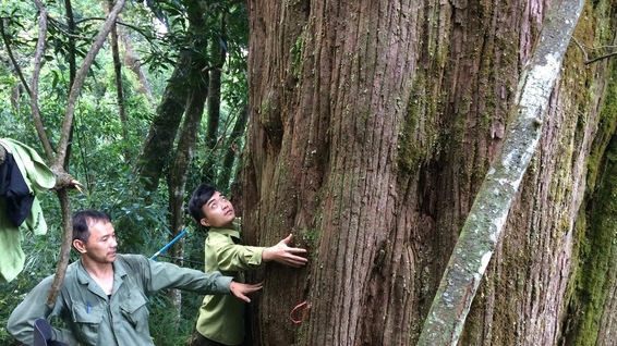 Population of ancient 'po mu' trees found in Ha Tinh, Vietnam environment, climate change in Vietnam, Vietnam weather, Vietnam climate, pollution in Vietnam, environmental news, sci-tech news, vietnamnet bridge, english news, Vietnam news, news Vietnam, v
