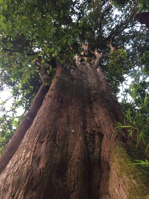 Centuries-old tree preserved in Ha Tinh national park, Vietnam environment, climate change in Vietnam, Vietnam weather, Vietnam climate, pollution in Vietnam, environmental news, sci-tech news, vietnamnet bridge, english news, Vietnam news, news Vietnam,