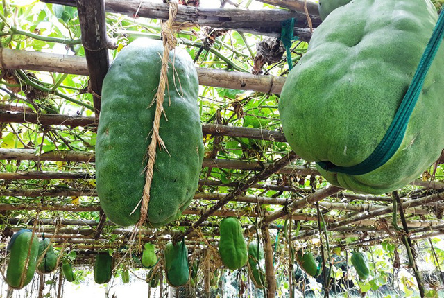 Binh Dinh village's giant winter melons, travel news, Vietnam guide, Vietnam airlines, Vietnam tour, tour Vietnam, Hanoi, ho chi minh city, Saigon, travelling to Vietnam, Vietnam travelling, Vietnam travel, vn news
