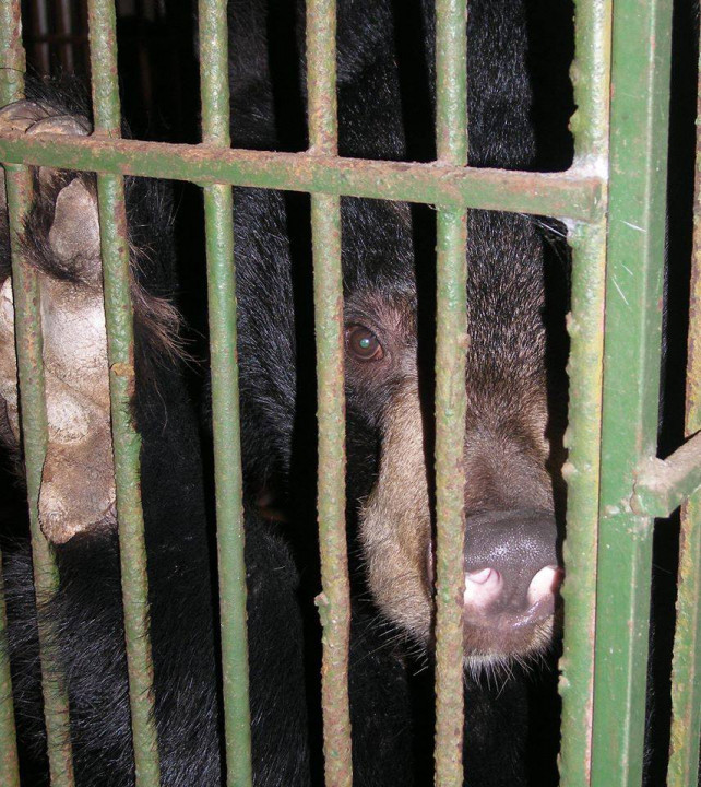 vietnam economy, business news, vn news, vietnamnet bridge, english news, Vietnam news, news Vietnam, vietnamnet news, vn news, Vietnam net news, Vietnam latest news, Vietnam breaking news, wildlife, Penal Code, breeding bears in captivity