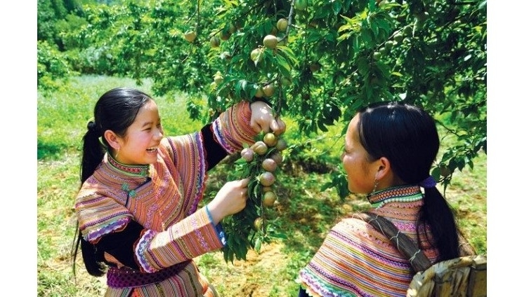 Beauty of Bac Ha in plum harvesting season, social news, vietnamnet bridge, english news, Vietnam news, news Vietnam, vietnamnet news, Vietnam net news, Vietnam latest news, vn news, Vietnam breaking news