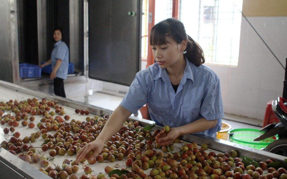Luc Ngan lychee farmers enjoy early harvest, social news, vietnamnet bridge, english news, Vietnam news, news Vietnam, vietnamnet news, Vietnam net news, Vietnam latest news, vn news, Vietnam breaking news