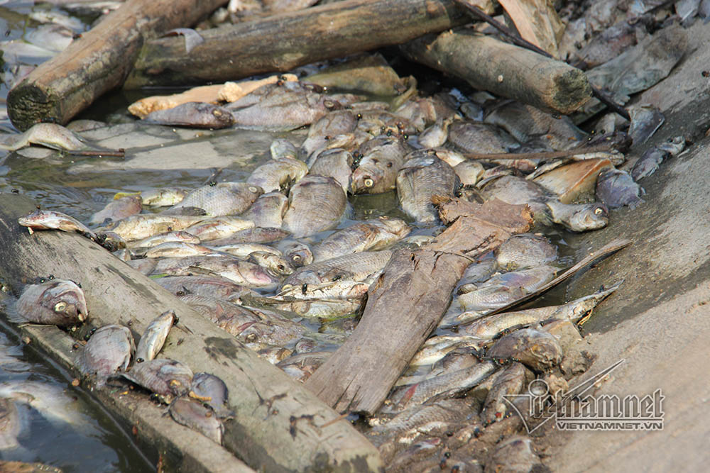 Another mass fish death in lakes near Ha Long Bay, Vietnam environment, climate change in Vietnam, Vietnam weather, Vietnam climate, pollution in Vietnam, environmental news, sci-tech news, vietnamnet bridge, english news, Vietnam news, news Vietnam, viet
