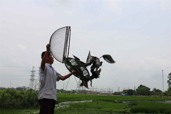Bac Ninh pigeons race across local skies