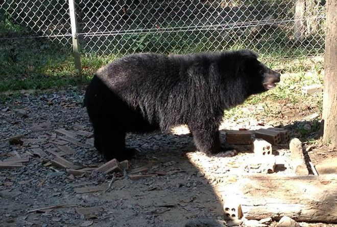 More Asian black bears in captivity in Lam Dong released, Vietnam environment, climate change in Vietnam, Vietnam weather, Vietnam climate, pollution in Vietnam, environmental news, sci-tech news, vietnamnet bridge, english news, Vietnam news, news Vietna