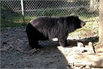 More Asian black bears in captivity in Lam Dong released