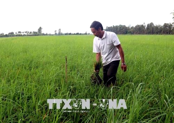 Mekong Delta, summer- autumn rice crop,  diseases, Vietnam economy, Vietnamnet bridge, English news about Vietnam, Vietnam news, news about Vietnam, English news, Vietnamnet news, latest news on Vietnam, Vietnam