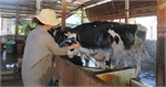 VN dairy farmers struggle against low prices
