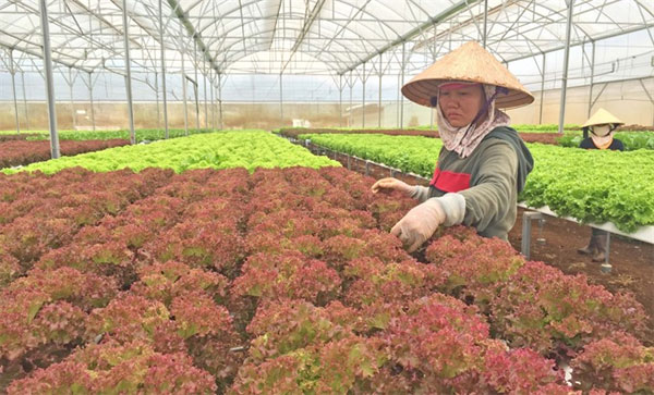 Da Lat, greenhouses, damage scenery and climate, Vietnam economy, Vietnamnet bridge, English news about Vietnam, Vietnam news, news about Vietnam, English news, Vietnamnet news, latest news on Vietnam, Vietnam
