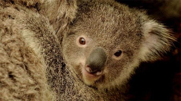 Saving koalas, gene study, solution to deadly sex disease