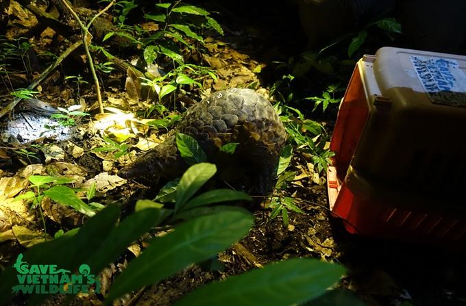 Endangered pangolins returned to the wild, Vietnam environment, climate change in Vietnam, Vietnam weather, Vietnam climate, pollution in Vietnam, environmental news, sci-tech news, vietnamnet bridge, english news, Vietnam news, news Vietnam, vietnamnet n