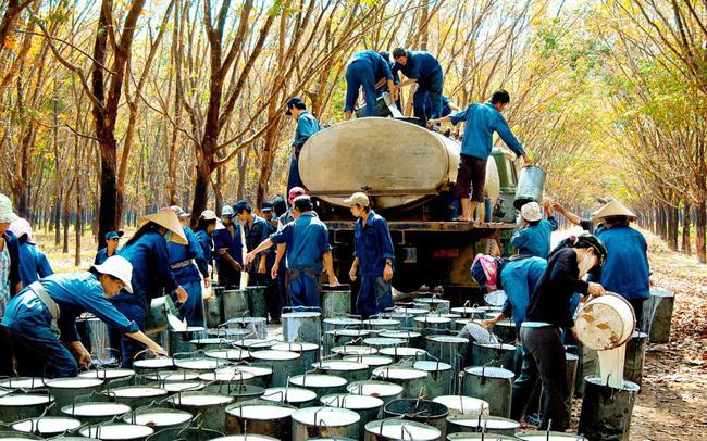 vietnam economy, business news, vn news, vietnamnet bridge, english news, Vietnam news, news Vietnam, vietnamnet news, vn news, Vietnam net news, Vietnam latest news, Vietnam breaking news, rubber, Casumina