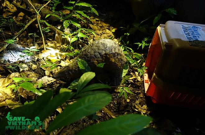 Endangered pangolins released into nature, Vietnam environment, climate change in Vietnam, Vietnam weather, Vietnam climate, pollution in Vietnam, environmental news, sci-tech news, vietnamnet bridge, english news, Vietnam news, news Vietnam, vietnamnet n