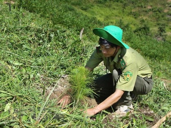 Alternative forests, planted, Vietnam economy, Vietnamnet bridge, English news about Vietnam, Vietnam news, news about Vietnam, English news, Vietnamnet news, latest news on Vietnam, Vietnam