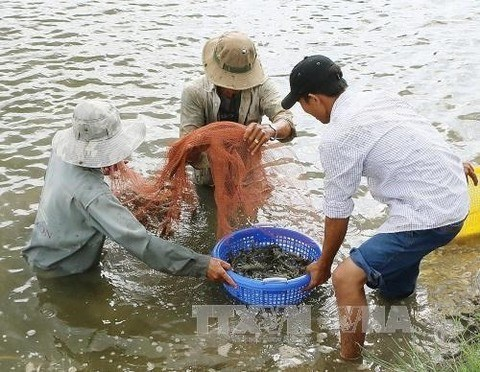 Giant river prawns recover in Mekong Delta after long decline, Vietnam environment, climate change in Vietnam, Vietnam weather, Vietnam climate, pollution in Vietnam, environmental news, sci-tech news, vietnamnet bridge, english news, Vietnam news, news V