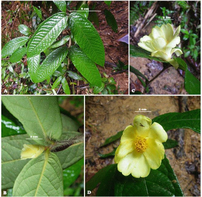 Two new species of Camellia from Vietnam published in Korean journal, IT news, sci-tech news, vietnamnet bridge, english news, Vietnam news, news Vietnam, vietnamnet news, Vietnam net news, Vietnam latest news, Vietnam breaking news, vn news