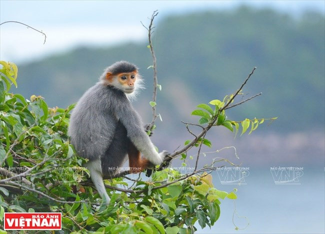 'Queen of Primates' on Son Tra Peninsula, Vietnam environment, climate change in Vietnam, Vietnam weather, Vietnam climate, pollution in Vietnam, environmental news, sci-tech news, vietnamnet bridge, english news, Vietnam news, news Vietnam, vietnamnet