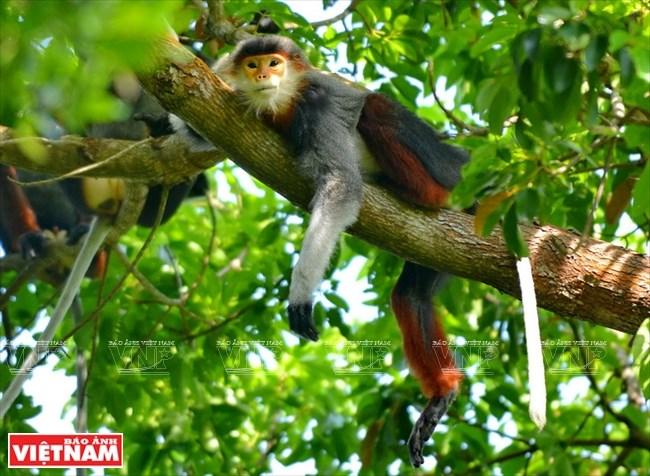 'Queen of Primates' on Son Tra Peninsula, Vietnam environment, climate change in Vietnam, Vietnam weather, Vietnam climate, pollution in Vietnam, environmental news, sci-tech news, vietnamnet bridge, english news, Vietnam news, news Vietnam, vietnamnet