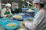 VN cashew producers in crisis due to lack of capital