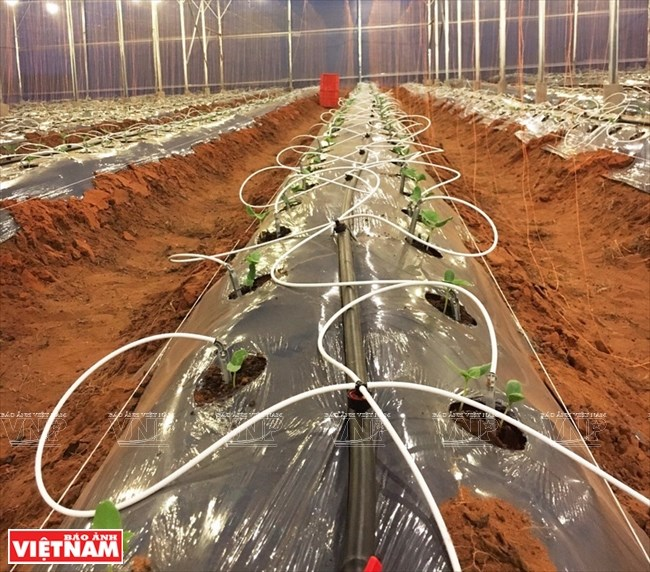 Agriculture bears fruit in little desert, ninh thuan, social news, vietnamnet bridge, english news, Vietnam news, news Vietnam, vietnamnet news, Vietnam net news, Vietnam latest news, vn news, Vietnam breaking news