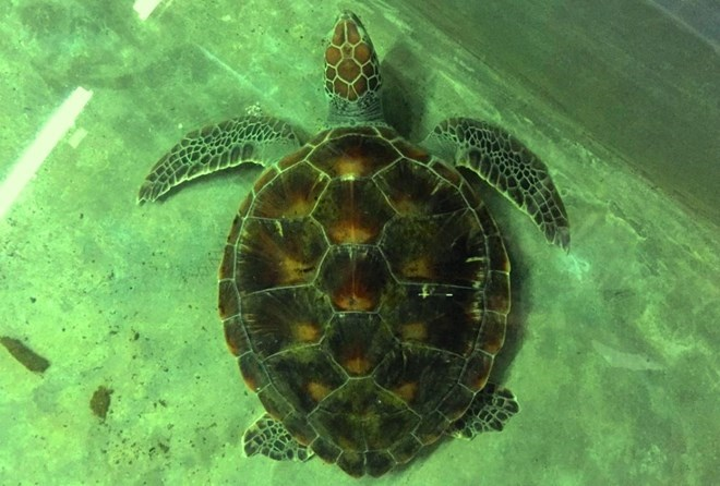Vietnam strengthens protection of rare sea turtles, Vietnam environment, climate change in Vietnam, Vietnam weather, Vietnam climate, pollution in Vietnam, environmental news, sci-tech news, vietnamnet bridge, english news, Vietnam news, news Vietnam, vie