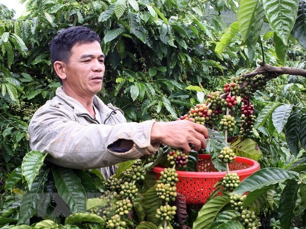 Vietnam seeks to increase value of coffee products, vietnam economy, business news, vn news, vietnamnet bridge, english news, Vietnam news, news Vietnam, vietnamnet news, vn news, Vietnam net news, Vietnam latest news, Vietnam breaking news