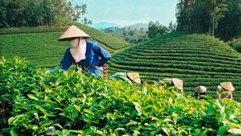 Vietnamese tea finds flavour of growth in new world tastes, vietnam economy, business news, vn news, vietnamnet bridge, english news, Vietnam news, news Vietnam, vietnamnet news, vn news, Vietnam net news, Vietnam latest news, Vietnam breaking news
