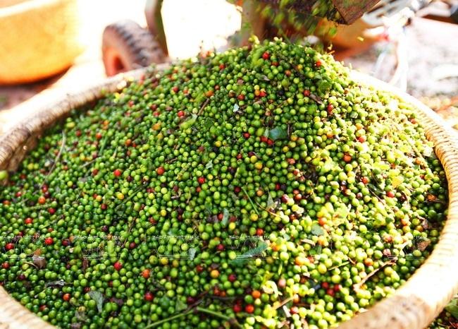 Pepper prices tumble to 10-year low, vietnam economy, business news, vn news, vietnamnet bridge, english news, Vietnam news, news Vietnam, vietnamnet news, vn news, Vietnam net news, Vietnam latest news, Vietnam breaking news