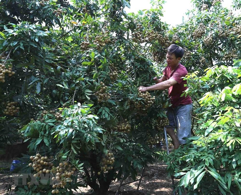 Hung Yen longan fruits during harvest season, social news, vietnamnet bridge, english news, Vietnam news, news Vietnam, vietnamnet news, Vietnam net news, Vietnam latest news, vn news, Vietnam breaking news