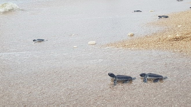 Fewer sea turtles coming inland to lay eggs, Vietnam environment, climate change in Vietnam, Vietnam weather, Vietnam climate, pollution in Vietnam, environmental news, sci-tech news, vietnamnet bridge, english news, Vietnam news, news Vietnam, vietnamnet
