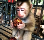 Rare macaque rescued in Kon Tum