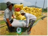 Farmers take losses in tilling rice