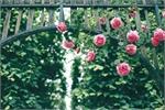Rose Park to open in Hanoi