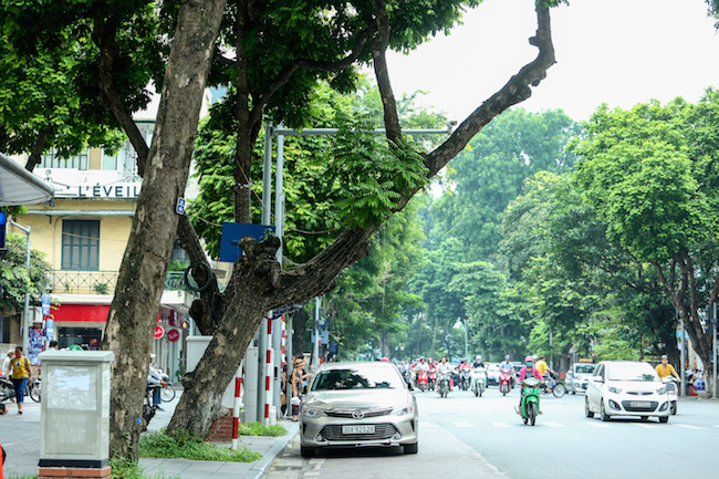 Hanoi trees at risk of collapse