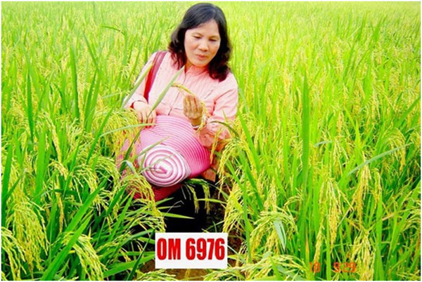Scientist, create climate change-ready rice, Vietnam economy, Vietnamnet bridge, English news about Vietnam, Vietnam news, news about Vietnam, English news, Vietnamnet news, latest news on Vietnam, Vietnam